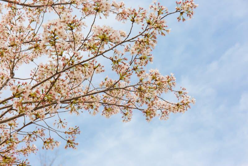 Körsbärsröda blomningar som är bleka - rosa, ljust och nytt arkivbild