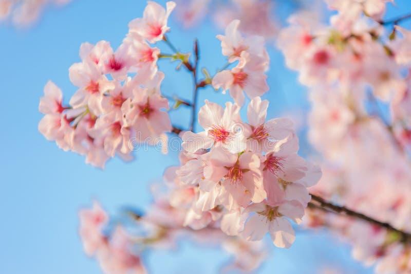 Körsbärsröda blomningar som blommar under den blåa himlen royaltyfri fotografi