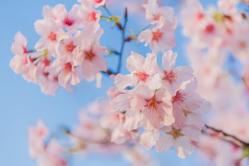 Körsbärsröda blomningar som blommar under den blåa himlen arkivfoto