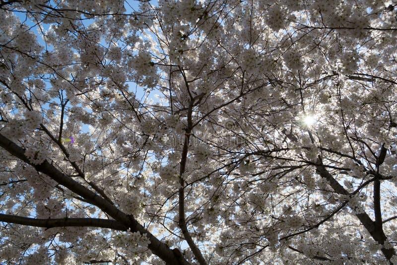 Körsbärsröda blomningar som täcker solen fotografering för bildbyråer
