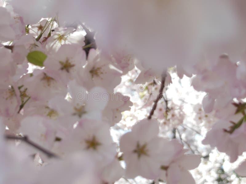 Körsbärsröda blomningar washington, dc arkivbild