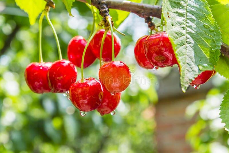 Körsbärsröda röda bär på en trädfilial med vatten tappar royaltyfri bild