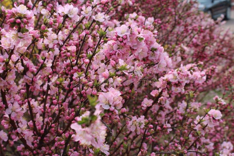 Körsbärsröda sakura blomningträd arkivbilder