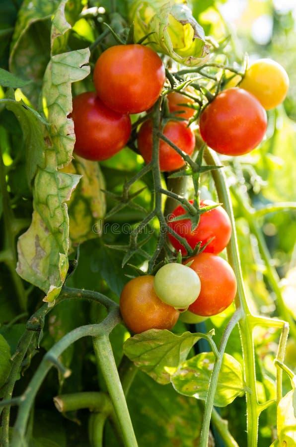 Körsbärsröda tomater som växer i trädgården royaltyfri bild