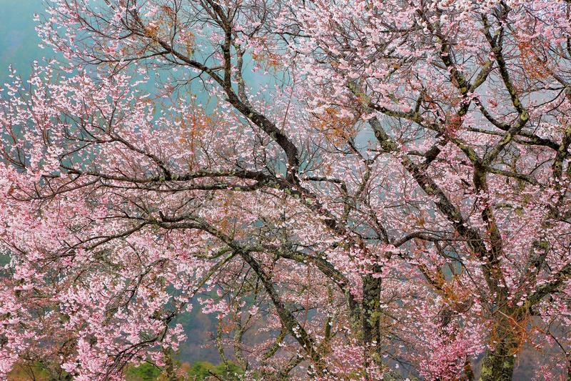 Körsbärsröda träd för blomning i den Nagano prefekturen arkivbild
