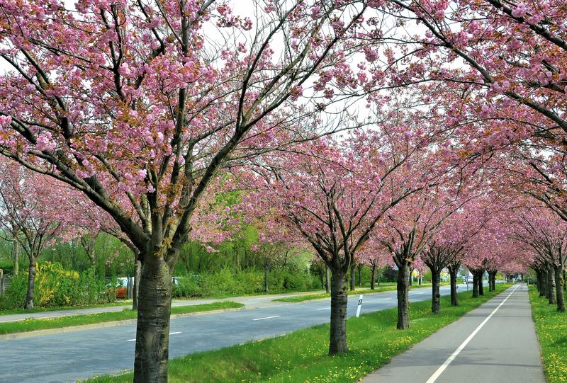 Körsbärsröda träd för blomning längs en väg arkivfoton