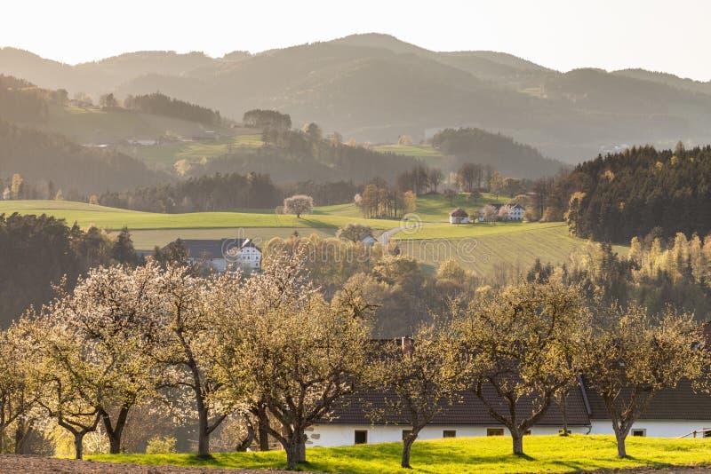 Körsbärsröda träd i fält och kullar i Neumark im Muehlkreis royaltyfri fotografi