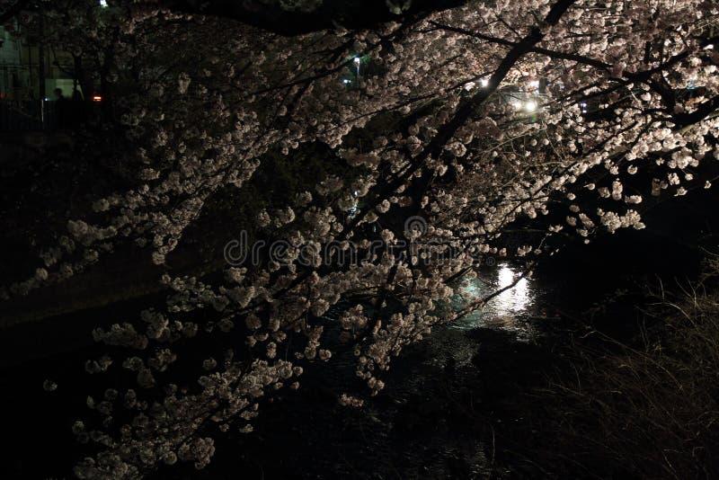 Körsbärsröda träd längs den Ooka floden, Yokohama på aftonen arkivfoton