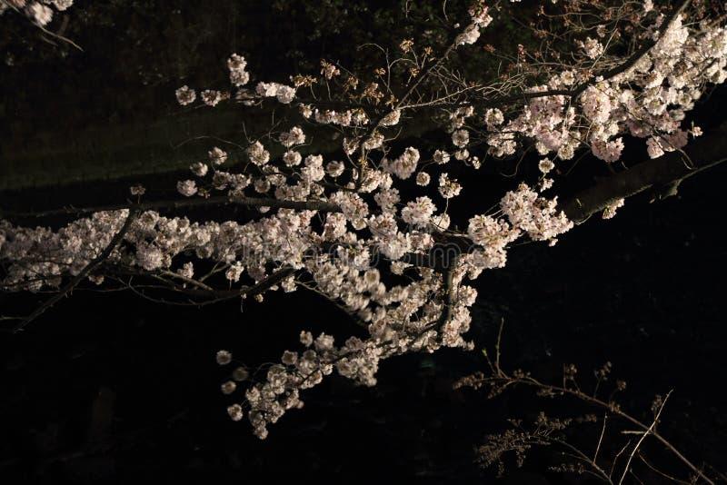 Körsbärsröda träd längs den Ooka floden, Yokohama på aftonen royaltyfria bilder