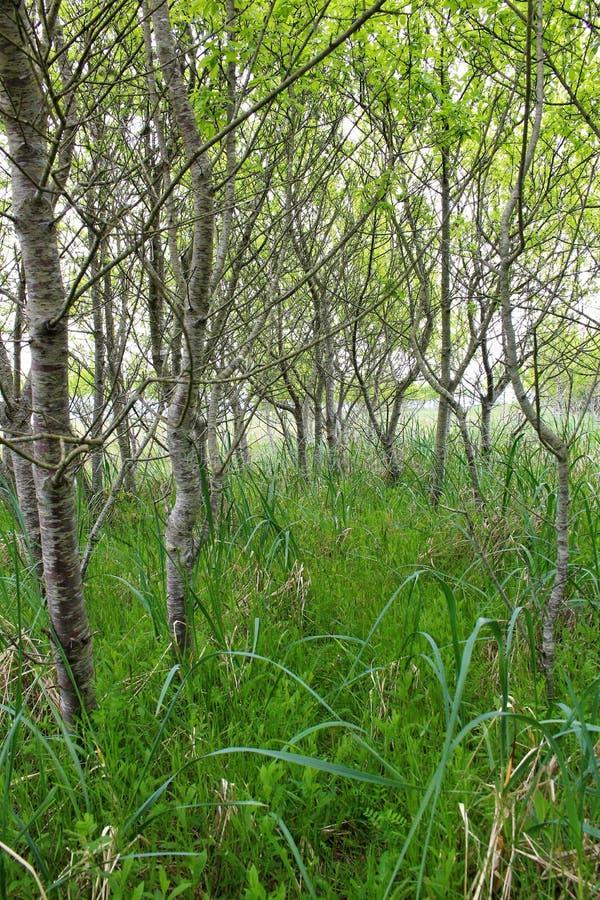 Körsbärsröda träd och snårskog royaltyfria bilder