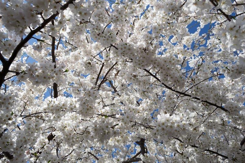 Körsbärsröda Treeblommor fotografering för bildbyråer