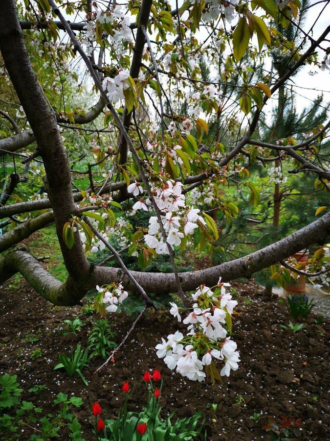 Körsbärsrött blomstra i tulporna arbeta i trädgården arkivfoto