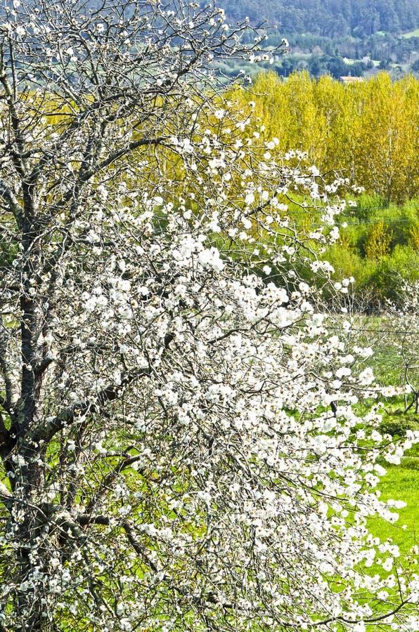 Download Körsbärsrött träd fotografering för bildbyråer. Bild av cherry - 37349555