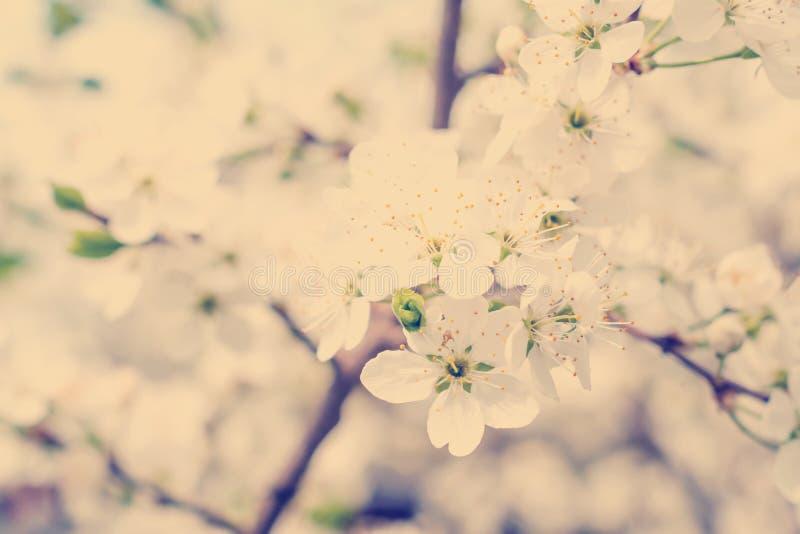 Körsbärsrött träd för blomning arkivfoton