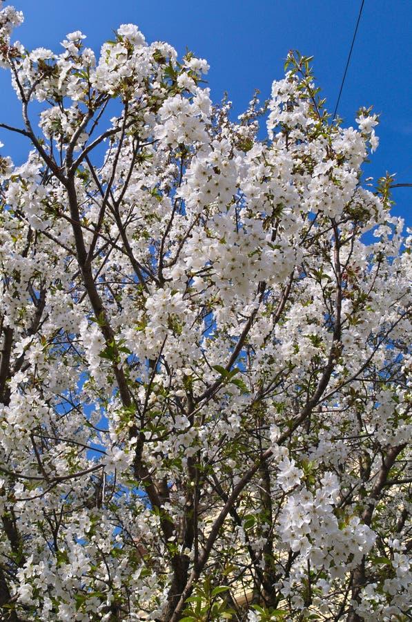 Körsbärsrött träd för blomning royaltyfria bilder