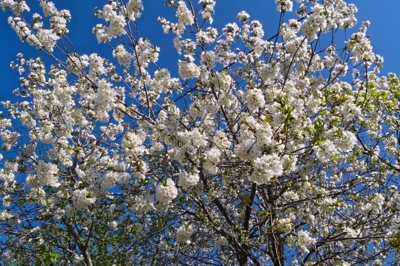 Körsbärsrött träd för blomning arkivfoto