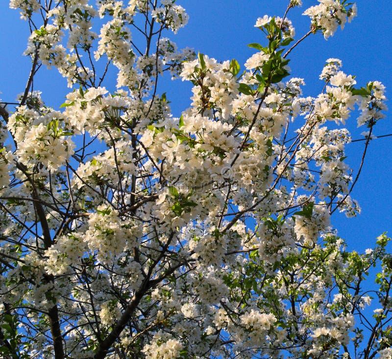 Körsbärsrött träd för blomning royaltyfri bild