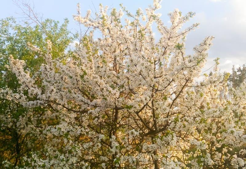 Körsbärsrött träd för blomning i trädgården royaltyfri foto
