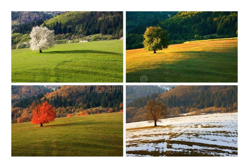 Körsbärsrött träd för fyra säsong royaltyfri foto