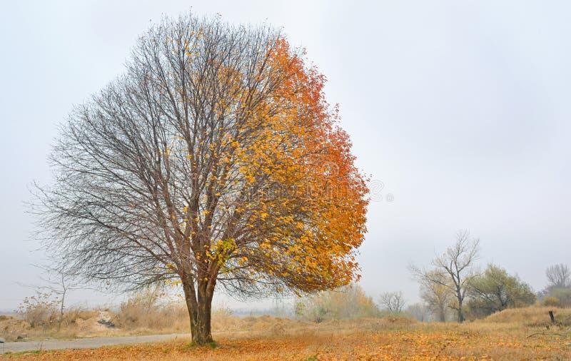 Körsbärsrött träd för höst royaltyfri fotografi
