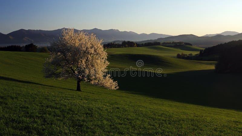 Körsbärsrött träd i blom i morgonvårljus royaltyfri fotografi