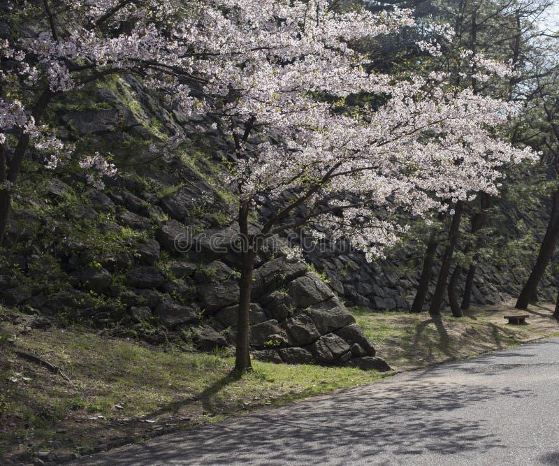 Körsbärsrött träd i blomning i trädgårdarna av den Wakayama slotten i Japan royaltyfria bilder