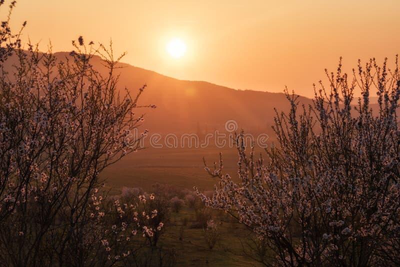 Körsbärsrött träd i strålarna av inställningssolen royaltyfri foto