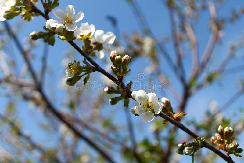 Körsbärsrött träd i trädgård royaltyfri foto