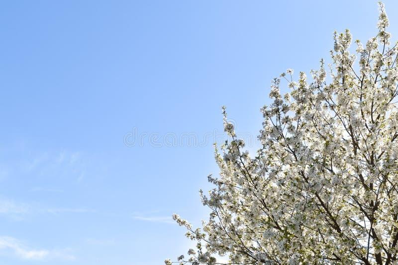 Körsbärsrött träd med den vita blomningen under vårtid arkivfoton