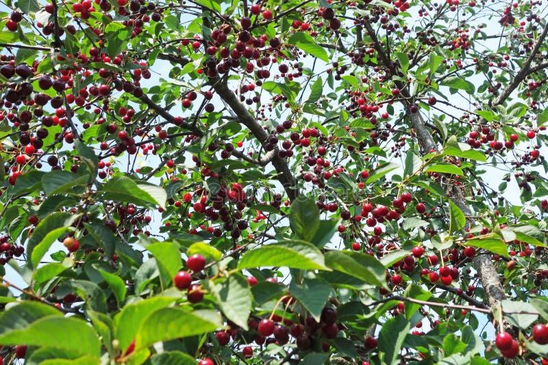 Körsbärsrött träd med mogna bär royaltyfria foton
