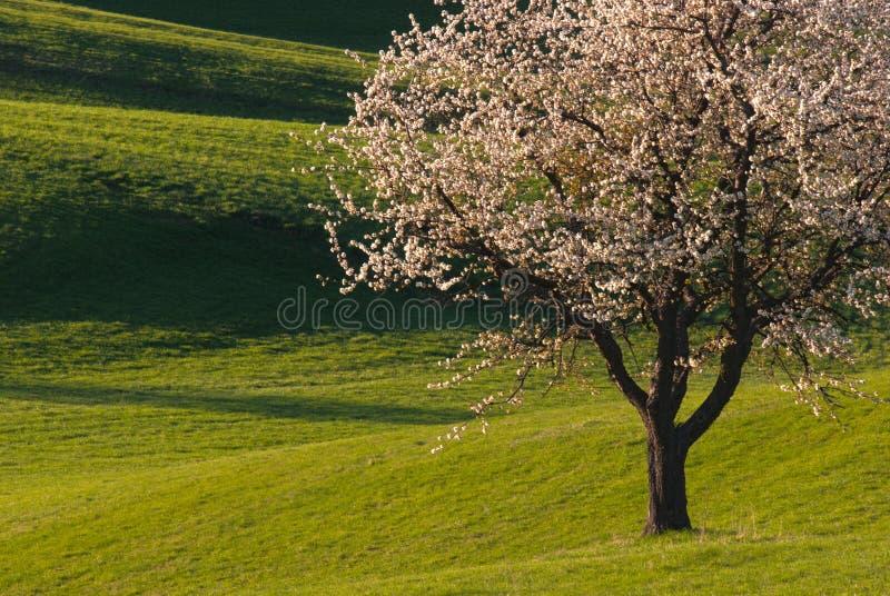 Körsbärsrött träd och ängar arkivbild