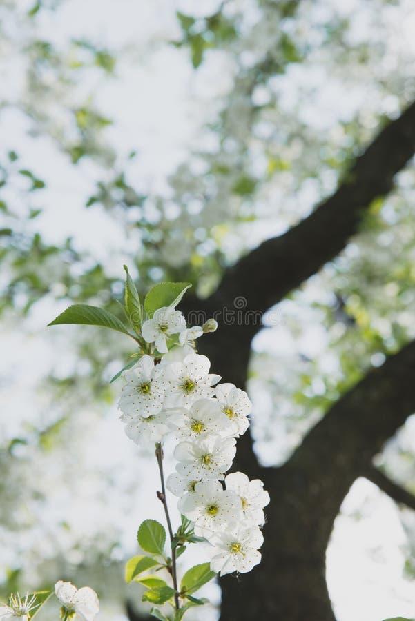 Körsbärträdgård Vårblomningbakgrund - abstrakt blom- gräns av gräsplansidor och vita blommor royaltyfria bilder