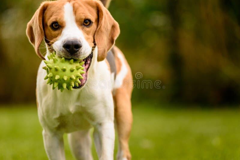 Kört beaglehundhusdjur och utomhus- gyckel Trädgård för hund I i solig dag för sommar med bollen som har gyckel arkivfoto