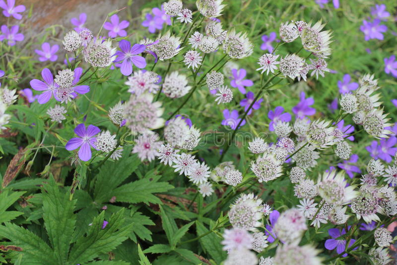 Köstliche Blaue Und Weiße Blumen, England Stockbild - Bild von spaß ...