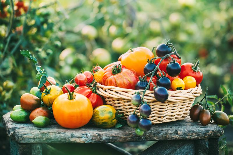 Köstliche selbstgezogene frisch ausgewählte Tomaten stockbilder