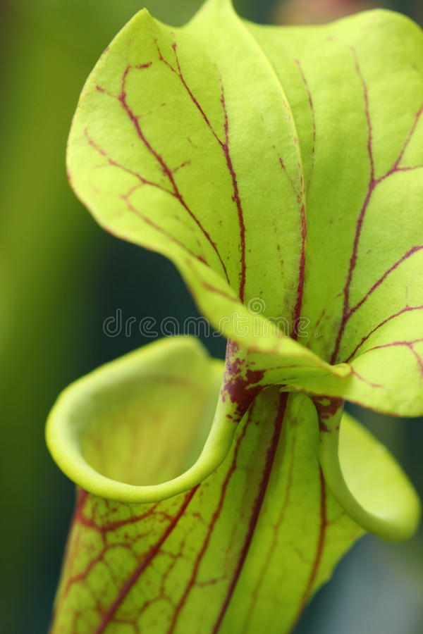 Köttätande kannaväxt (Sarraceniaflavaen) royaltyfri foto