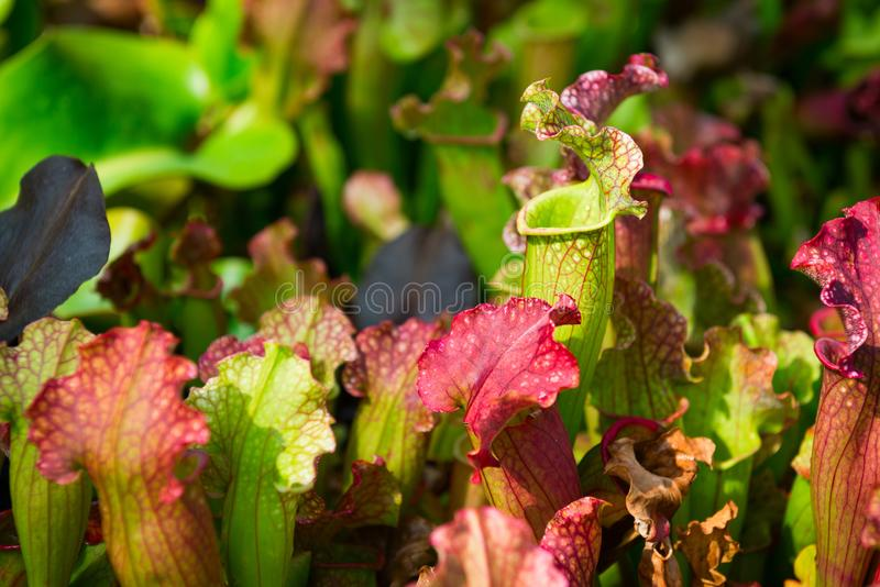 Köttätande Sarraceniakannaväxter royaltyfri bild