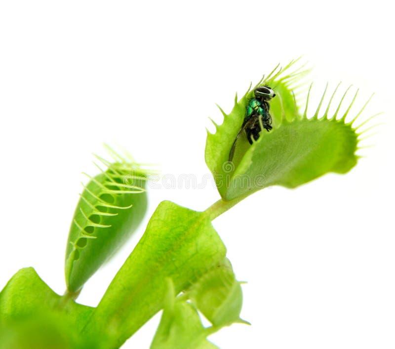Köttätande växt. Flytrap fotografering för bildbyråer