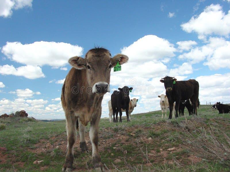 Download Kühe stockbild. Bild von landschaft, wolken, wolke, ranchs - 43379