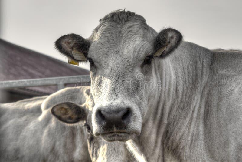 Kühe 5 stockfotos