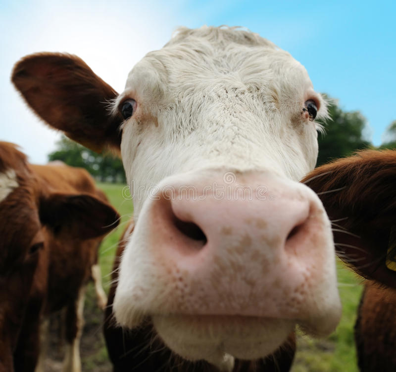 Kühe auf Ackerland lizenzfreie stockfotos