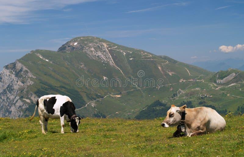 Kühe auf Alpe lizenzfreies stockbild