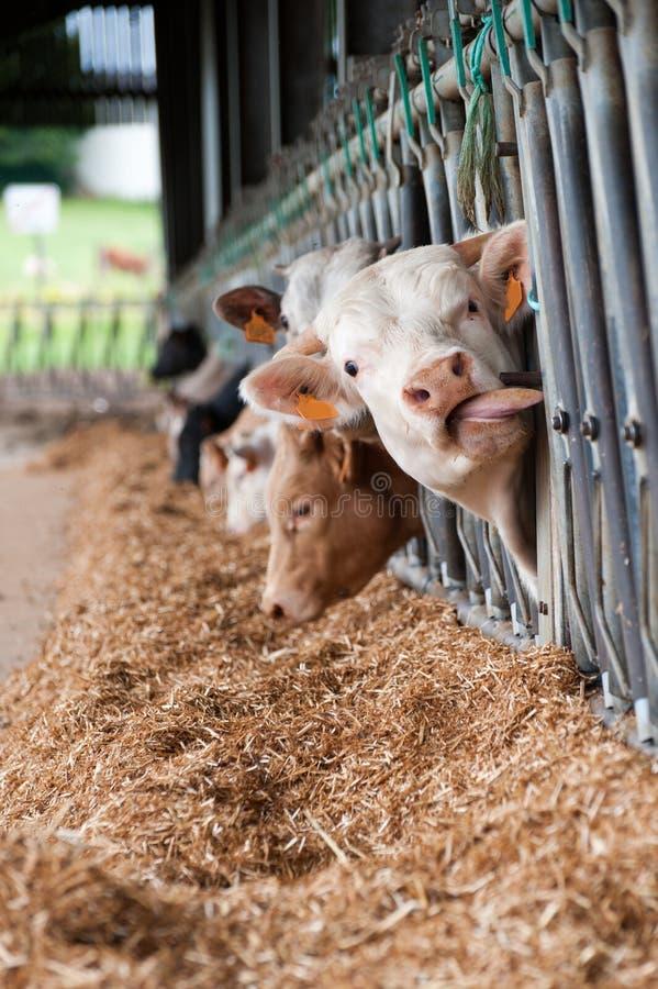 Kühe auf dem Bauernhof stockbilder