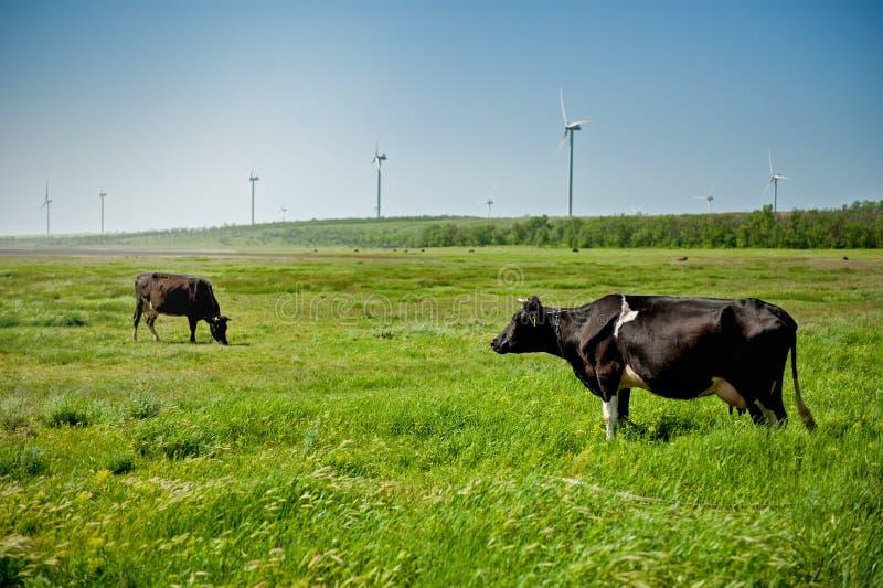 Kühe auf dem Feld mit Windkraftanlagen stockfotografie