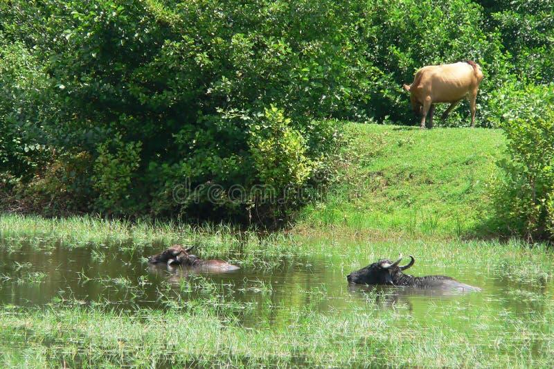 Kühe auf dem Fluss stockbilder