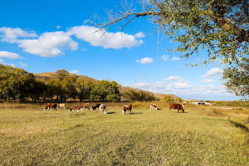 Kühe auf dem gelben Gras unter dem blauen Himmel lizenzfreies stockbild