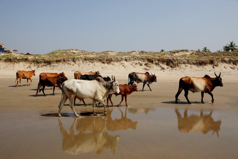 Kühe auf dem Strand, Goa lizenzfreies stockbild