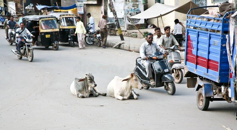 Kühe auf den indischen Straßen lizenzfreie stockfotos