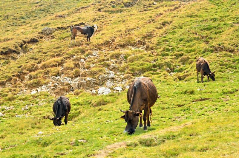 Download Kühe auf der Weide stockbild. Bild von tier, graze, braun - 27728585