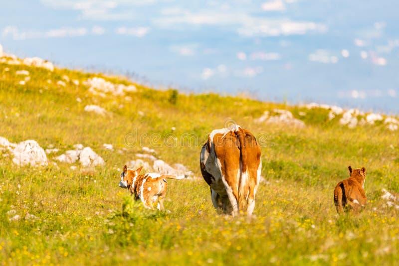 Kühe auf einer Wiese in den Alpen Österreich lizenzfreies stockfoto
